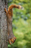 Squirrel on tree eating cicada Stock Images