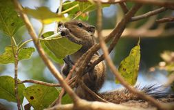 The Squirrel on a tree royalty free stock images