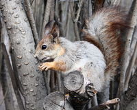Squirrel. On a tree eating nuts Stock Photo