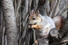 Squirrel. On a tree eating nuts Royalty Free Stock Photo