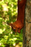 Squirrel on a tree eating nuts Royalty Free Stock Photo