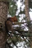 Squirrel on a tree, eating nuts. Squirrel tree eating  nuts animals royalty free stock images