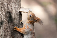 Squirrel on the tree eats the mushroom. stock photos