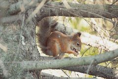 The squirrel on a tree eats a nut Stock Photography