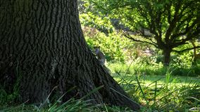 Squirrel on a tree in English summer park royalty free stock image