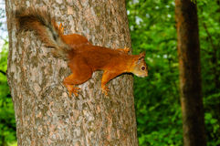Squirrel on tree Royalty Free Stock Photos
