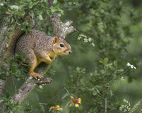 Squirrel In A Tree Royalty Free Stock Image