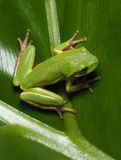 Squirrel Tree Frog on Cut Leaf Philadendrum Royalty Free Stock Photos