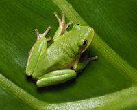 Squirrel Tree Frog on Green Tropical Plan Royalty Free Stock Photos