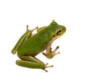 Squirrel Tree Frog Isolated on White Royalty Free Stock Photography