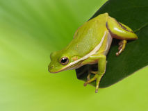 Squirrel Tree Frog on Magnolia Tree Leaf Royalty Free Stock Photography
