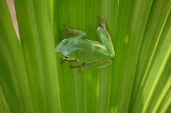 Squirrel Tree Frog on palmetto Royalty Free Stock Photo