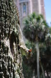 Squirrel on tree in front of Bok Tower circa 2015. Close-up of a squirrel crawling down a tree with an intentionally blurred Bok Tower in the background as seen Stock Photos