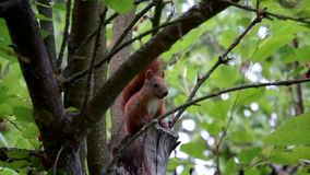 Squirrel on the tree gnawing on a nut, summer, Park. HD stock video footage
