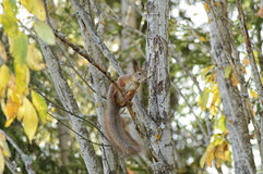 Squirrel in a tree Stock Photo
