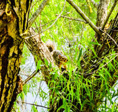 Squirrel. In tree hiding from goose and people Royalty Free Stock Images