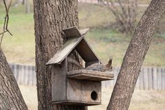Squirrel on a tree with his house, looking down. Brown animal rodent in natural. Nature royalty free stock image