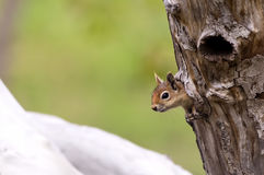 Squirrel on a Tree Hollow. Squirrel is leaning down from a tree hollow and looking around stock image