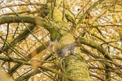 Squirrel on tree in Hyde Park London. Cute squirrel on tree in Hyde Park London Royalty Free Stock Photo