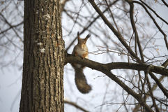 Squirrel on a tree with interest the photographer and posing. Royalty Free Stock Photography