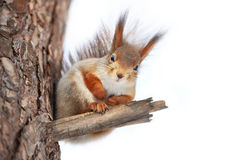 Squirrel on tree isolated. Squirrel on tree on winter day isolated Royalty Free Stock Photo