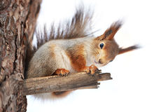 Squirrel on tree isolated. Squirrel on tree on winter day isolated Royalty Free Stock Photography