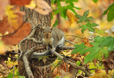 Squirrel on Tree limb Stock Images
