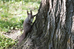 Squirrel - RAW format Stock Photo