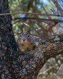 Squirrel In Tree looking at Camera royalty free stock photos