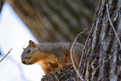 Squirrel in tree looking at camera Stock Photo