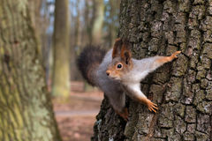 Squirrel in a tree looking curiously. Close-up. Royalty Free Stock Photo