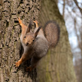 Squirrel in a tree looking curiously. Close-up. Photographed in spring Gatchina park near the palace of Emperor Paul I Stock Photos