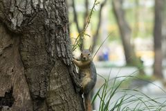 Squirrel on a tree. Squirrel looking down the tree royalty free stock photo