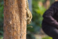 Squirrel on a tree looking for food. Close up of Cute Little Squirrel on a tree looking for food royalty free stock images