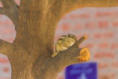 Squirrel on a tree looking for food. Close Up of little Squirrel on a tree looking for food royalty free stock image