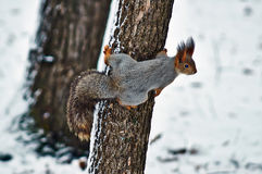 Squirrel on a tree. Royalty Free Stock Image