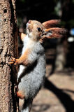 Squirrel in a tree looking up Royalty Free Stock Photo