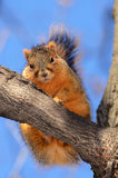 Squirrel on tree looking at you Royalty Free Stock Images