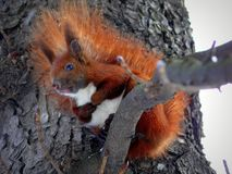 Squirrel on a tree. In Lviv, Ukraine stock photos