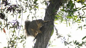 Squirrel on a Tree stock video