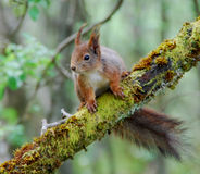 Squirrel. In a tree, norway Stock Photography