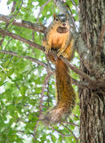 Squirrel In Tree With Nut. An Eastern Fox Squirrel poses on a tree branch while eating a nut Stock Images