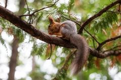Squirrel on a tree nut nibbles close up. Squirrel on a tree nut nibbles in day stock image