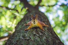 Squirrel on tree with nut. Squirrel sitting on tree with nut Royalty Free Stock Image