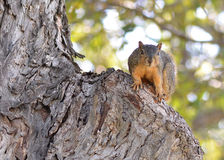 Squirrel in Tree Stock Photos