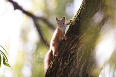 Squirrel. On the tree in the park Royalty Free Stock Images