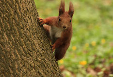 Squirrel on tree Royalty Free Stock Photo