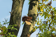 Squirrel. On a tree in park Royalty Free Stock Image