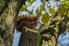 Squirrel. On a tree in park Stock Images