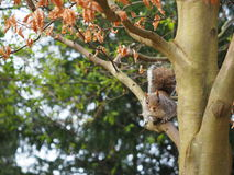 Squirrel on a tree. In a park Stock Images